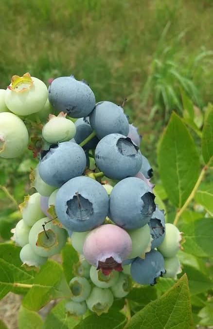 The Sweetness of Summer, Blueberries
