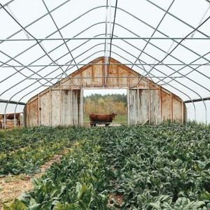 May '17: Heifer, spinach, NRCS-funded High Tunnel